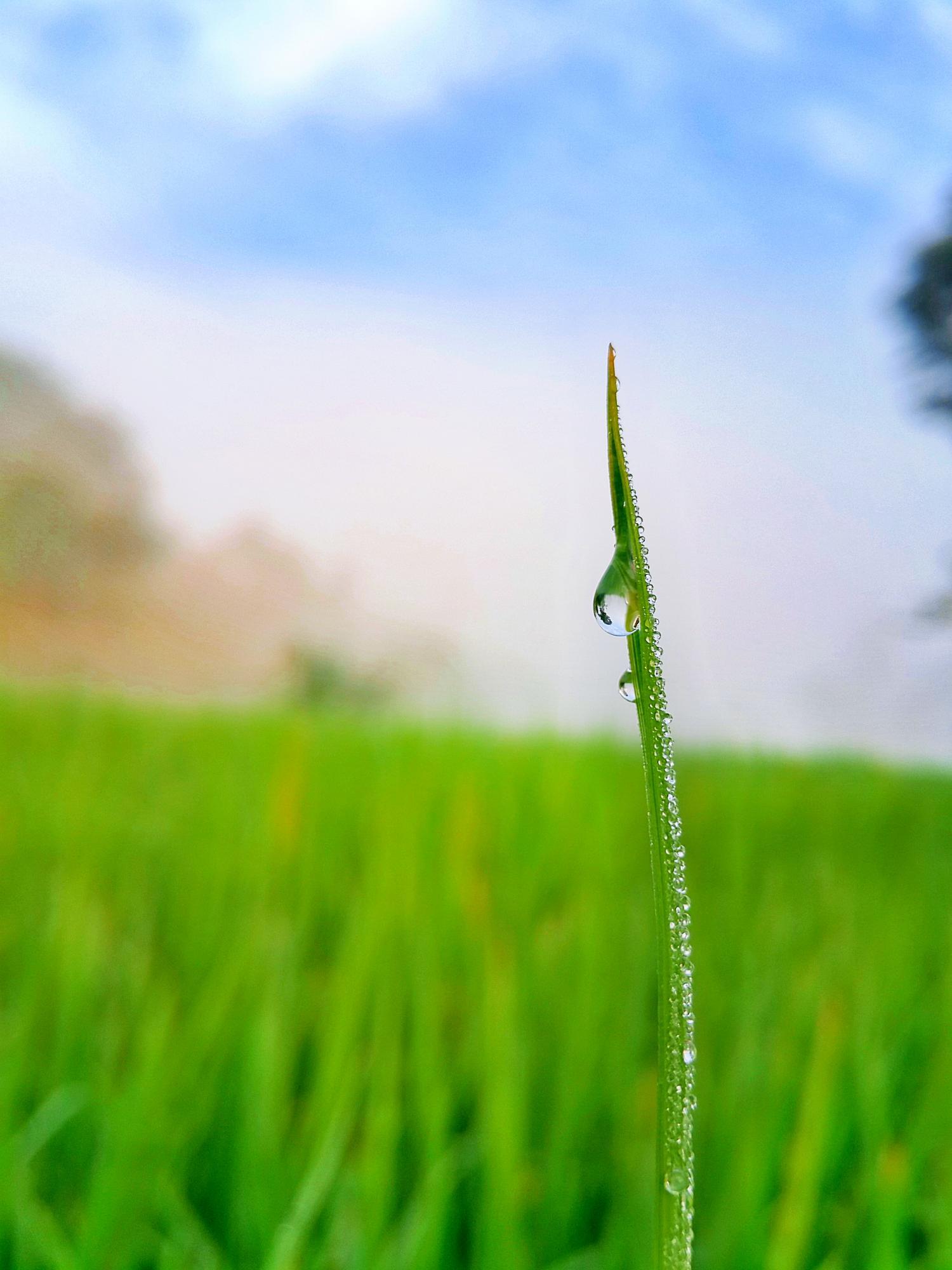绿色稻田卡通矢量图